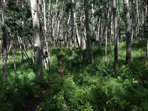 narrow path through Aspens